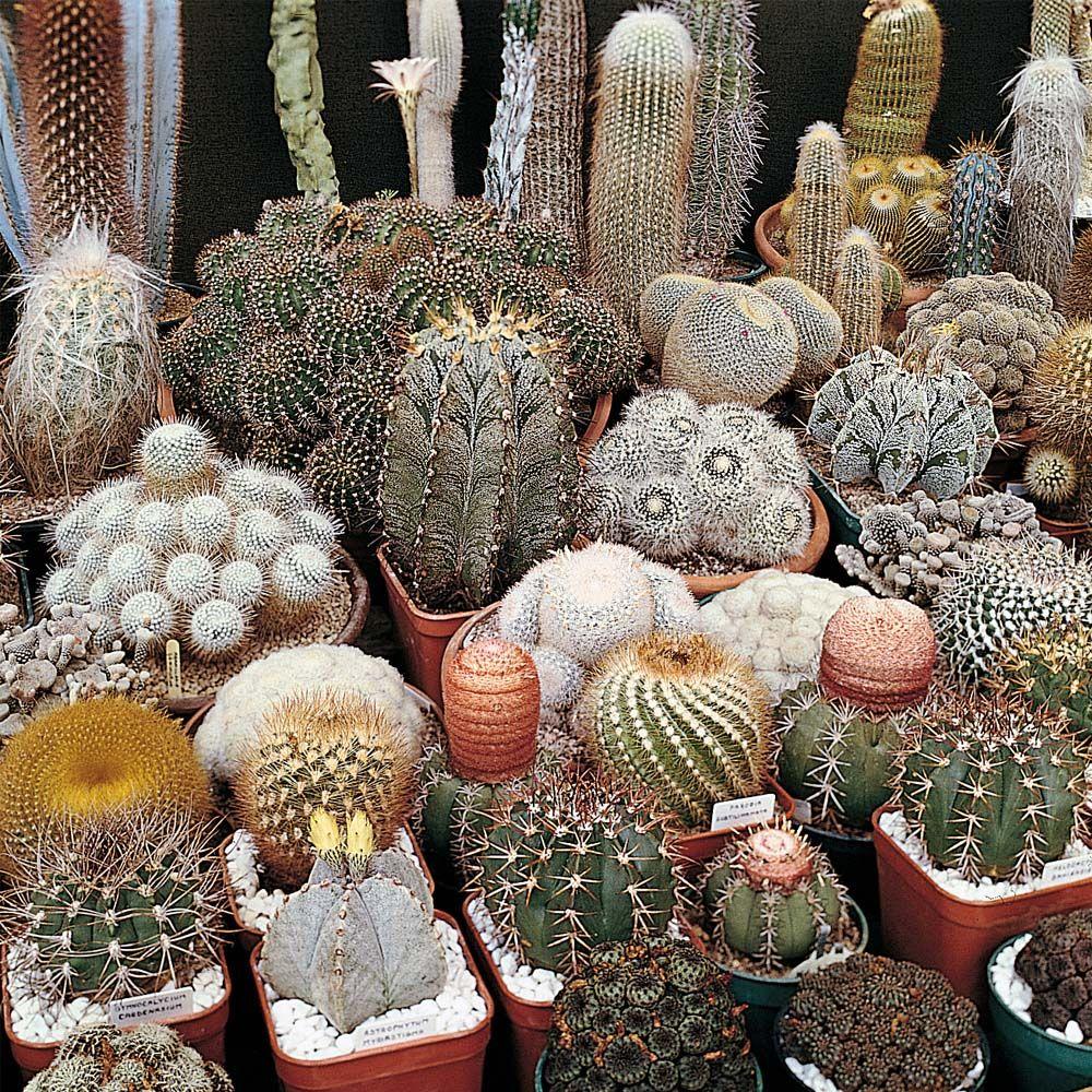 Cactus 'Special Mix' - Cacti - Thompson & Morgan crow cacti