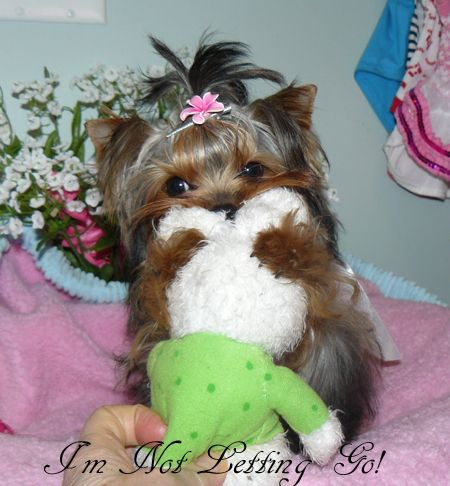 Baby Doll Yorkies For Sale In British Columbia Canada Teacup Yorkies Yorkie Puppies For Sale Yorkie Puppy For Sale Teacup Yorkie For Sale Yorkie
