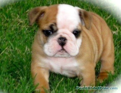 Breathtaking English Bulldog Puppies For Sale Free Classified Ad