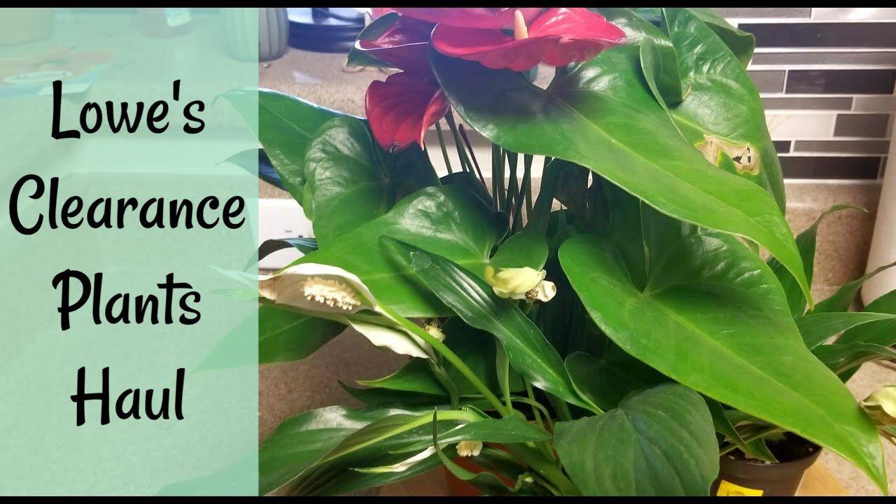 Lowe's Clearance Plants Haul Plants, Plant leaves