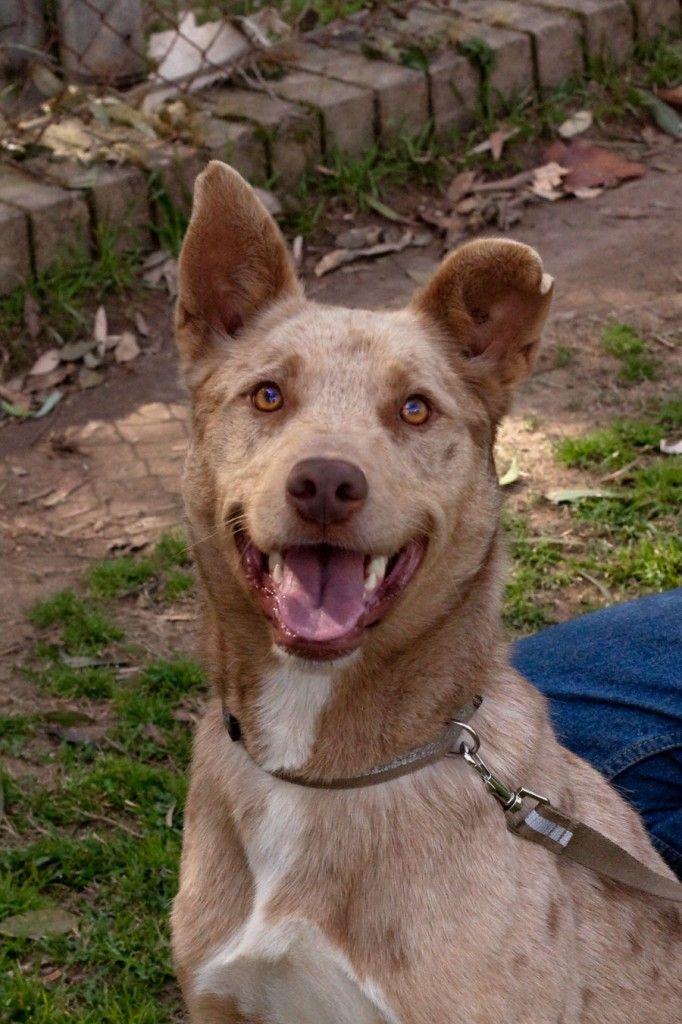 Australian Koolie Dog Photo Clay Koolie X Male 18 Months