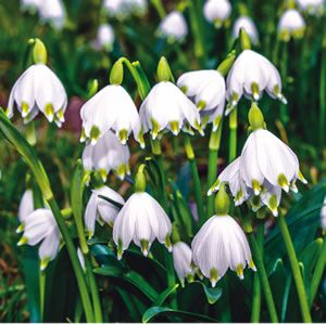 Snowflakes gardens pinterest garden express gardens and flowers snowflakes15st leucojum vernum snowflakes have clusters of tiny white bell shaped flowers with a green spot on each petal prefers a shaded position mightylinksfo