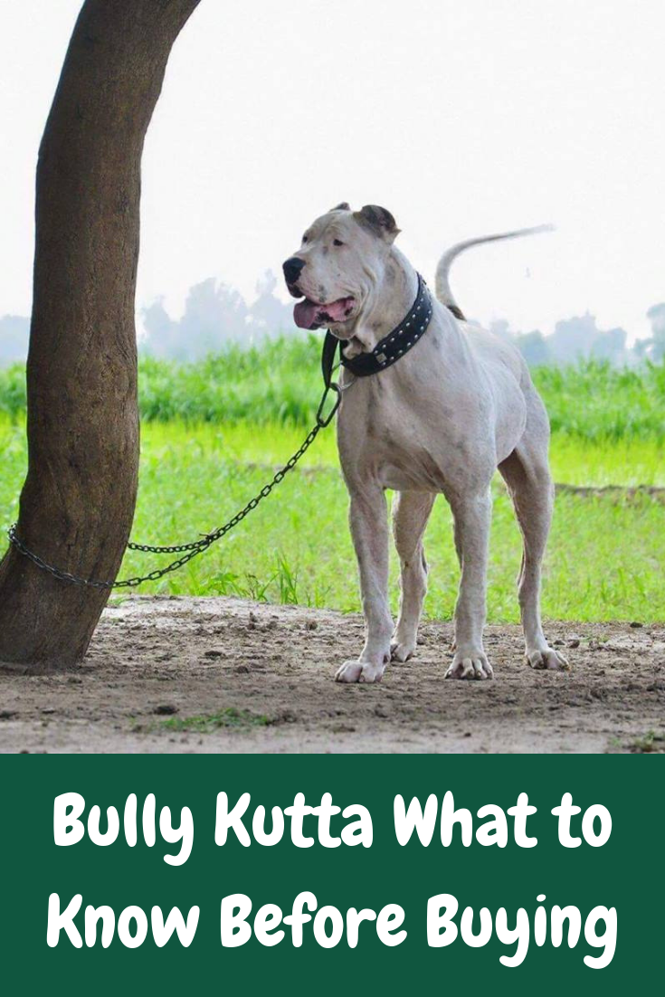 Bully Kutta Dog Breed Information Behavior Price Facts And Care Dog Breeds Dog Care Dogs