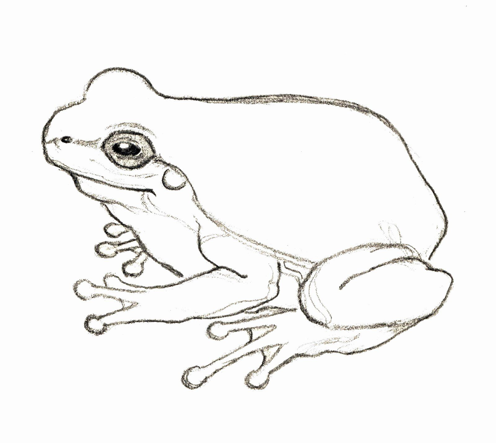 Coloring Page Tree Frog In 2020 Frog Drawing Frog Sketch Frog