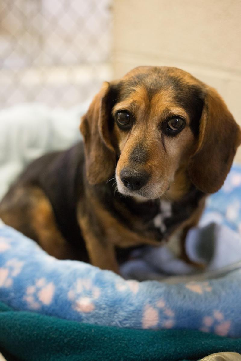 The Beagle - Friendly Loyal And Loving | champion beagle