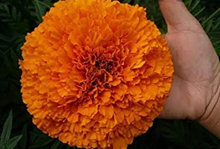 African Marigold Orange Seeds High Quality Visit Us At