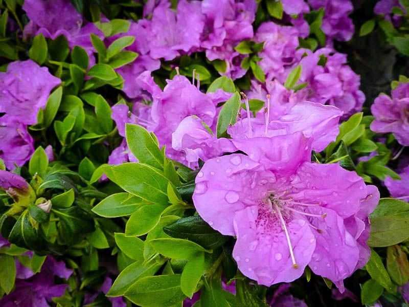 Autumn Lilac Encore Azalea Azaleas Bloom Autumn Garden