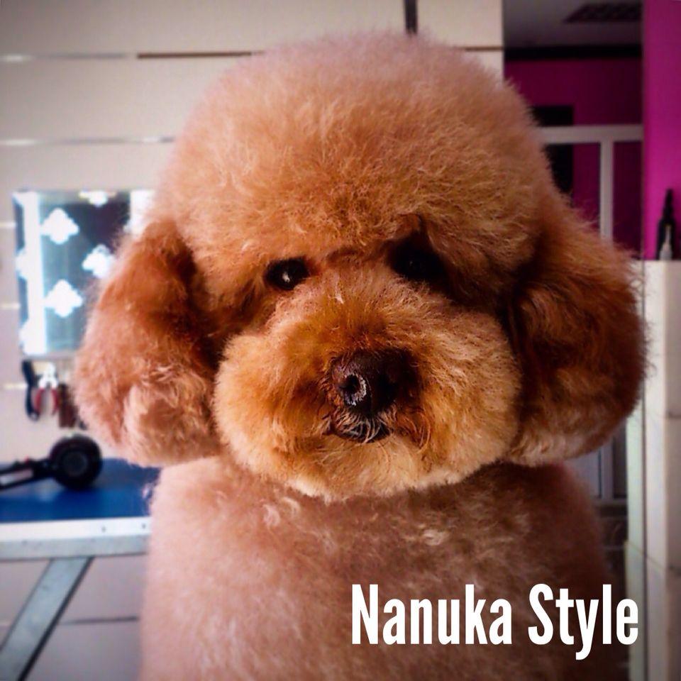 Este es Ponyo un caniche encantador muy paciente.   #doggys #dogs #instadog #instapets #benalmadena #peluqueriacanina #NanukaStyle #caniche #poodle #StandardPoodle