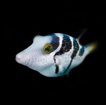 Puffer Fish; photo cred. NatGeo