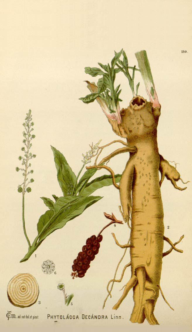 Poke root | HERBAL and Alternative | Medicinal plants