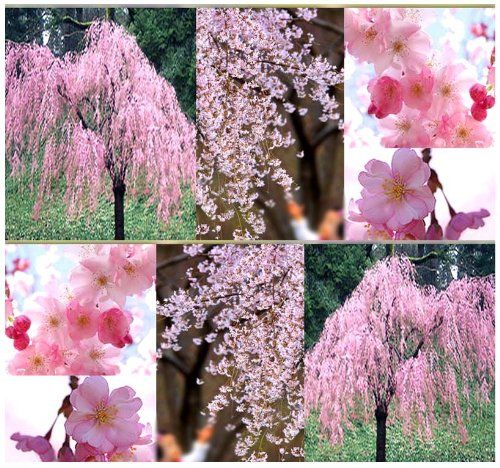 Trees Seeds Bulbs Plants Pin It Follow Us Zgardensupply Com Is Your Garden Supply Ga Weeping Cherry Tree Flowering Trees Japanese Cherry Tree