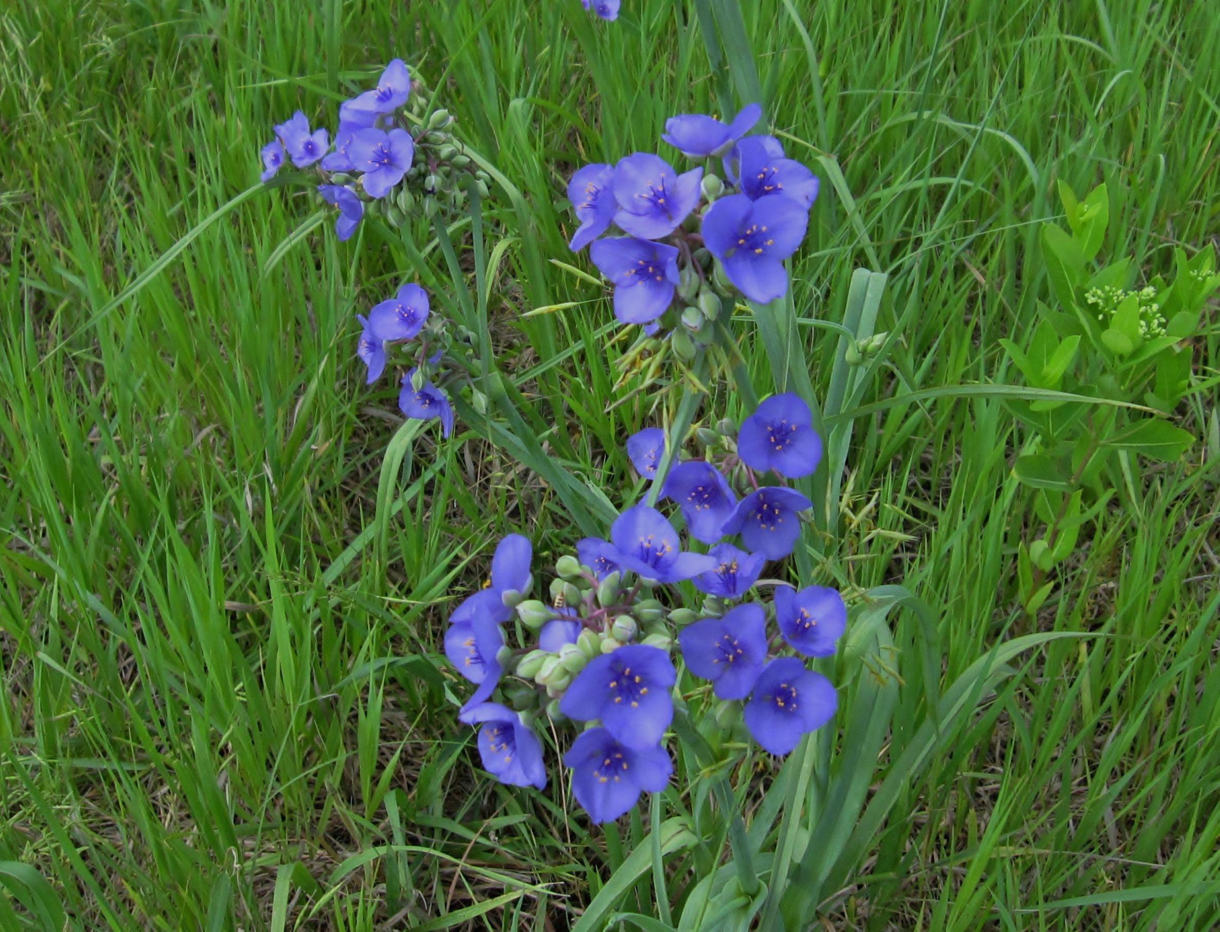 prairie spider wort Prairie flower, Beautiful flowers
