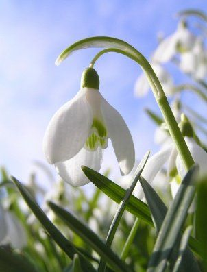 Snowdrop Flower Seriously Flowers Flowers Gardening Birth Month Flowers Month Flowers Snow Drops Flowers