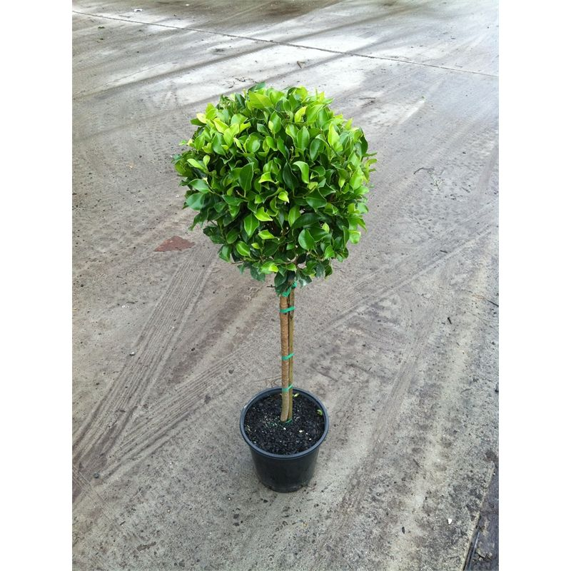 Ficus Emerald Standard 250mm Bunnings Ficus Tropical Garden Plants