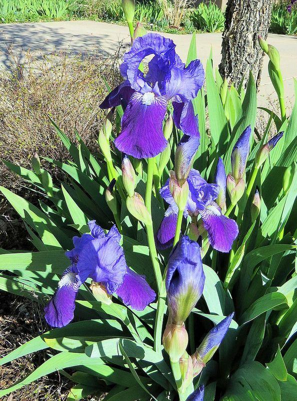 Tall Bearded Iris Iris Flowers Bearded Iris Iris