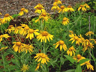 """Helenium hoopesii - This helenium is not a fall  bloomer like most helenium, but instead blooms about the same time as bearded iris. The petals open sideways, and are a mustard yellow. Gray-green foliage 24-36"""" in Full Sun"""
