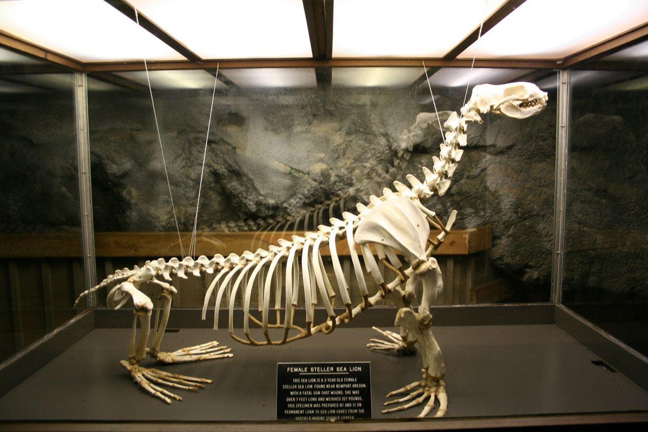Female Steller Sea Lion | Animal Study | Pinterest | Skeletons ...