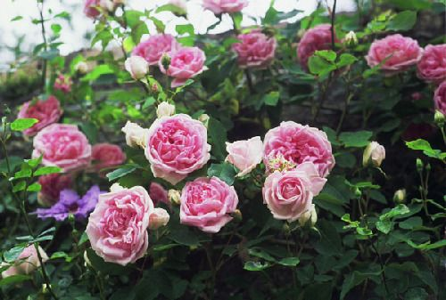 national collection of rosa pre 1900 gallica cvs rose foyle http