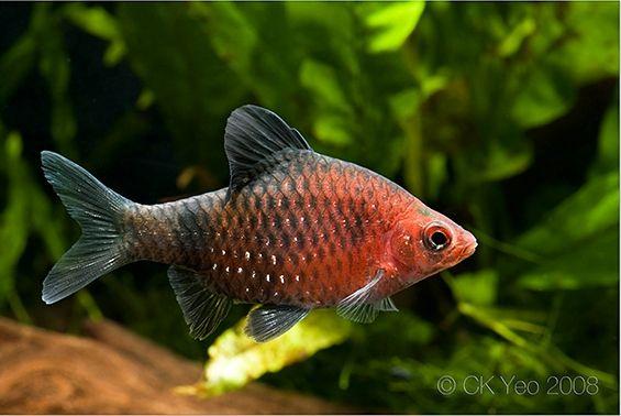 Puntius Nigrofasciatus Aquarium Fish Rare Fish Tetra Fish