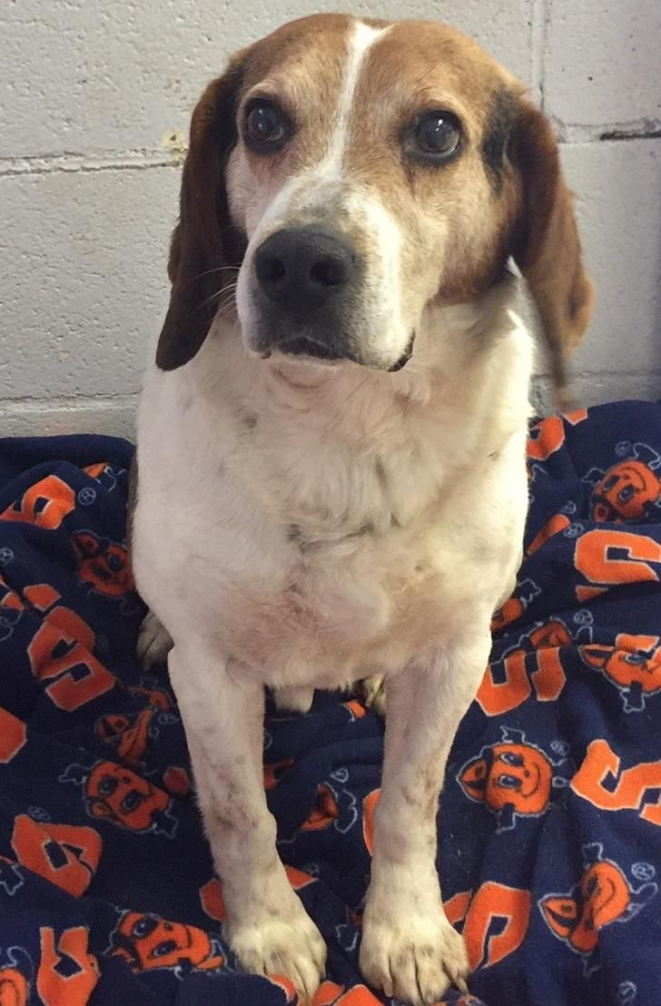 Adopt Snoopy On Beagle Dog Adoptable Beagle Dogs