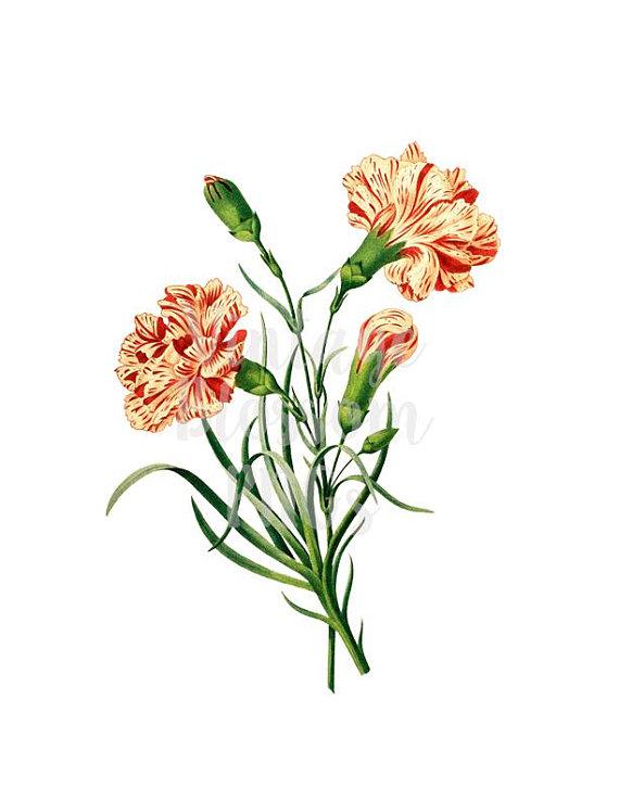 Vintage Clip Art Vintage Graphic Carnation Flower Digital Etsy Clip Art Vintage Carnation Drawing Flower Art
