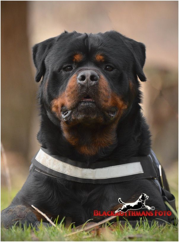 magnifique rottweiler sk nne dyr pinterest riesenschnauzer hunde und rot. Black Bedroom Furniture Sets. Home Design Ideas
