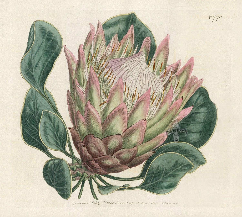Antique Prints From Curtis Protea Art Botanical Illustration Vintage Botanical Prints