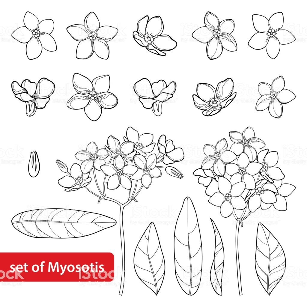 Vector Set With Outline Forget Me Not Or Myosotis Flower Bud