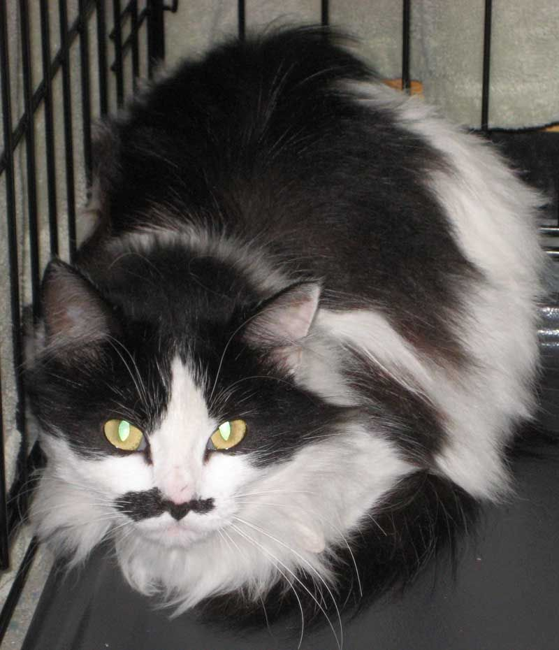 Maya Female Domestic Long Hair Black And White At The Cat House On The Kings Cats Cat House Kitty
