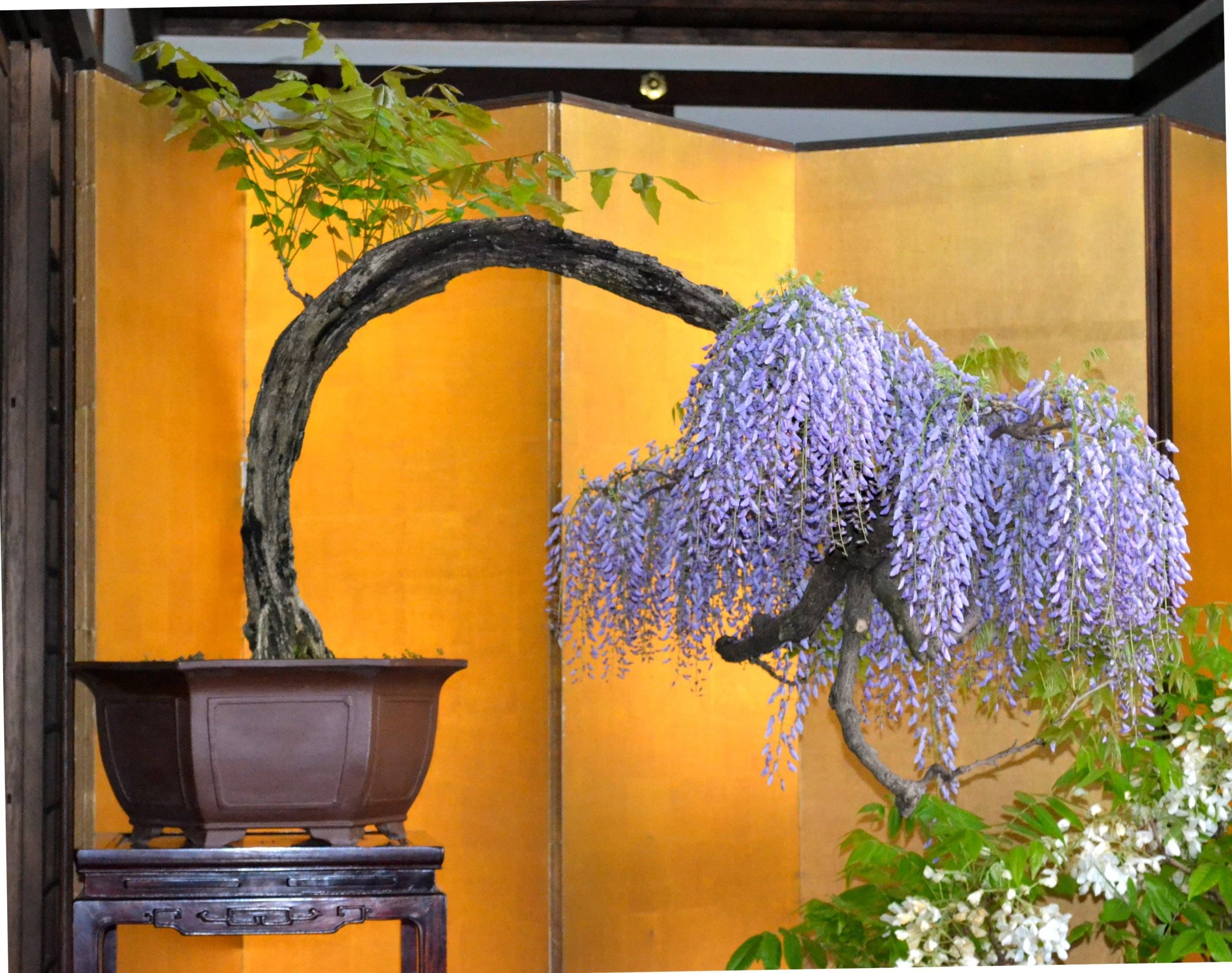 Hardest Flower To Grow Bonsai Wisteria Joy Pinterest Bonsai Wisteria And
