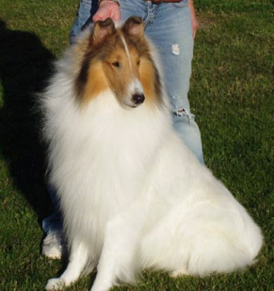 White Collies White Collie Dog Sheep Dog Puppy Rough Collie Shetland Sheepdog