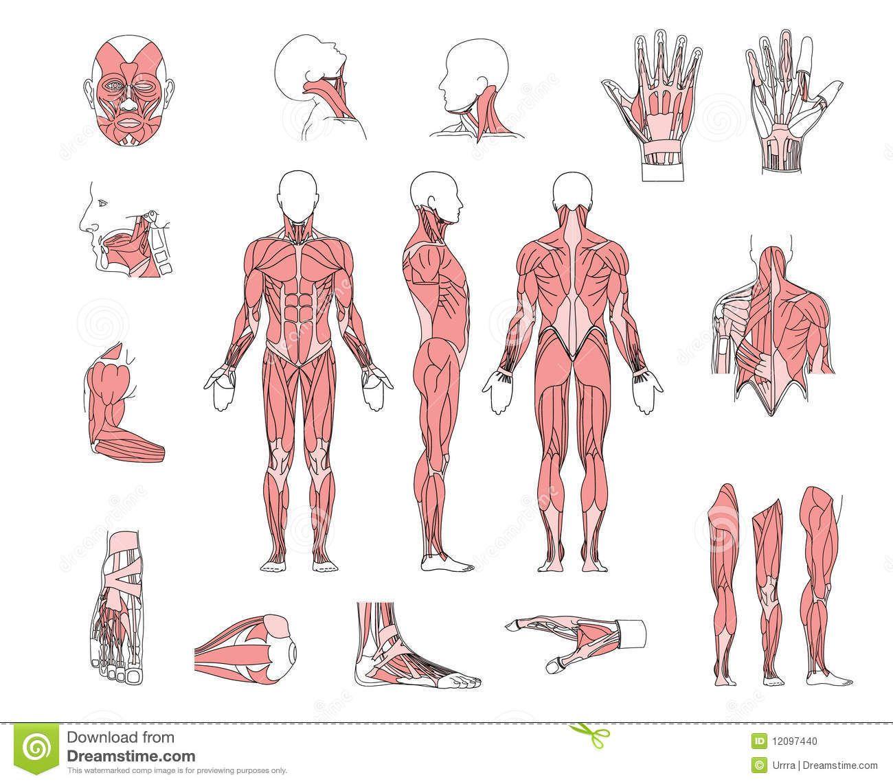 http://thumbs.dreamstime.com/z/muscle-system-12097440.jpg   Анатолий ...