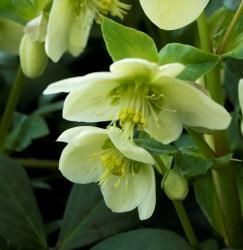 """Helleborus 'HGC Spring Party'--Lovely mottled foliage distinguishes this new German Interspecific Hybrid Hellebore. Bred to bloom early and long, 'Spring Party' has outward facing 3"""" white blossoms that age to green. 18"""" Blooms March - May."""