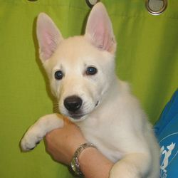 Adopt Mason On White Swiss Shepherd German Shepherd Dogs Dogs