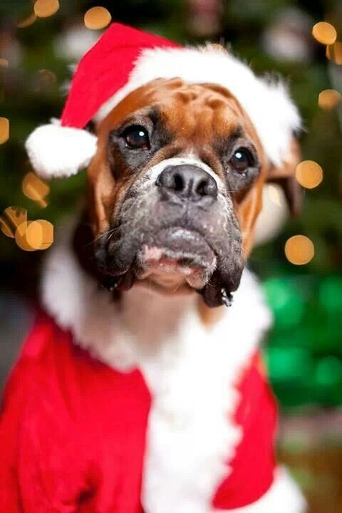 Pouty Santa Boxer Merry Christmas Card Puppy Holiday Dogs