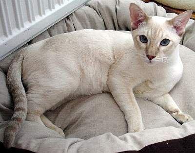 Farben Der Thaikatze Thai Katze Katzen Haustier