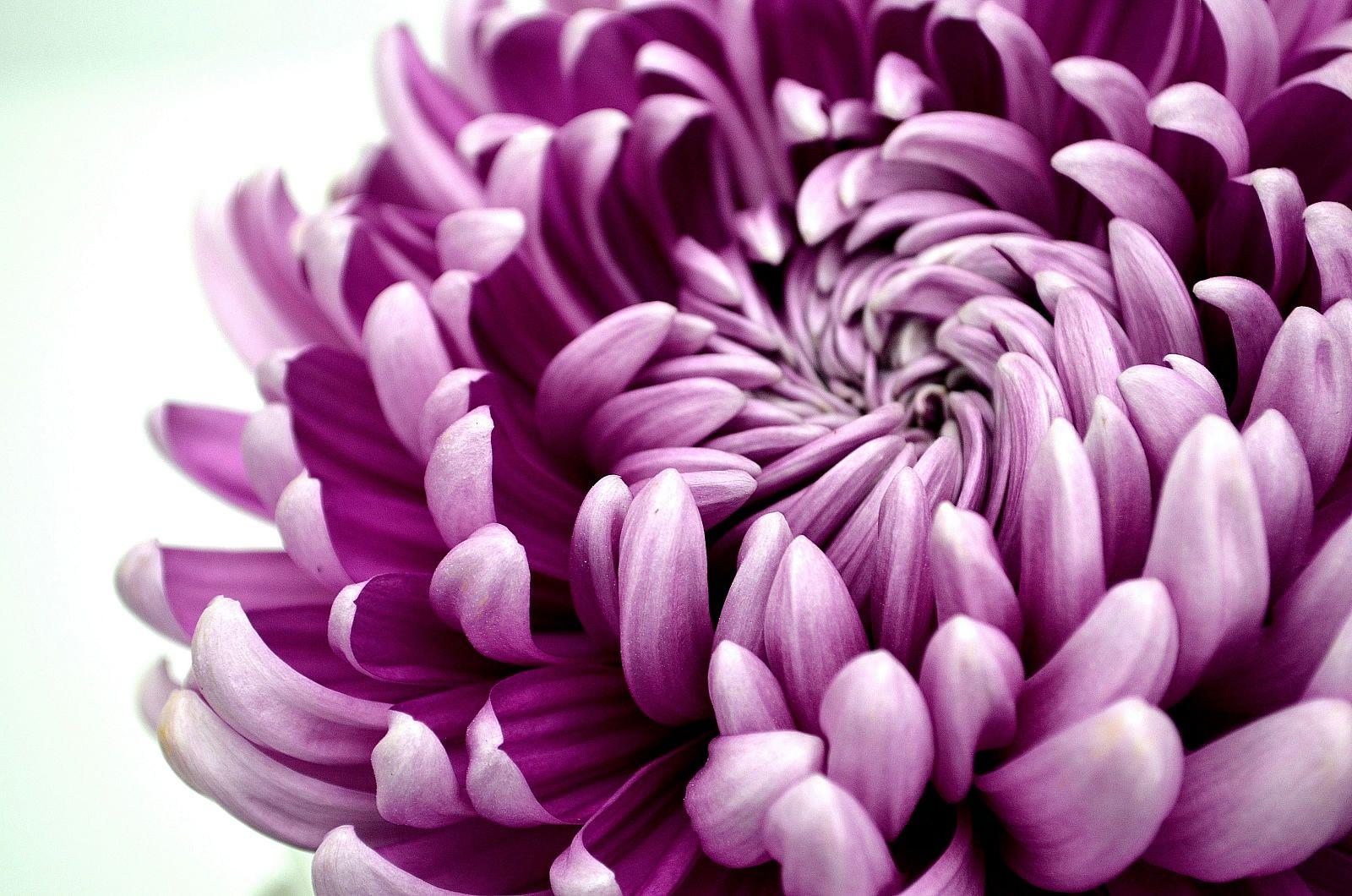 Chrysanthemum-disbud.jpg 1,600×1,060 pixels