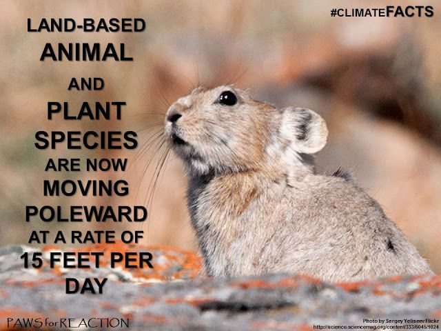 climate facts species loss american pika climate change what cute
