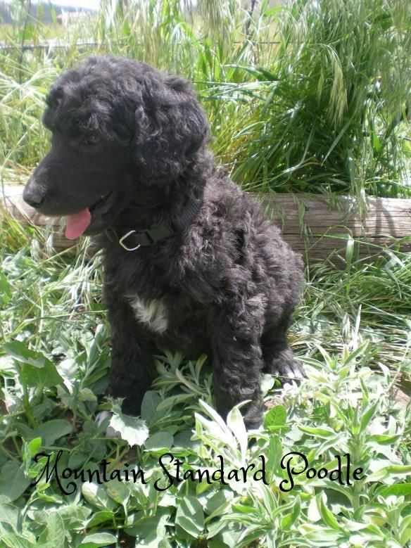 Lucky, a standard poodle puppy. Taking a break from playing. 5 weeks old