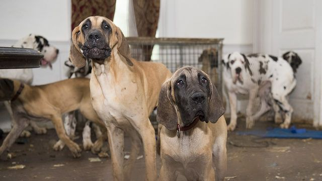 More Than 80 Great Danes Rescued From Nh Puppy Mill Great Dane