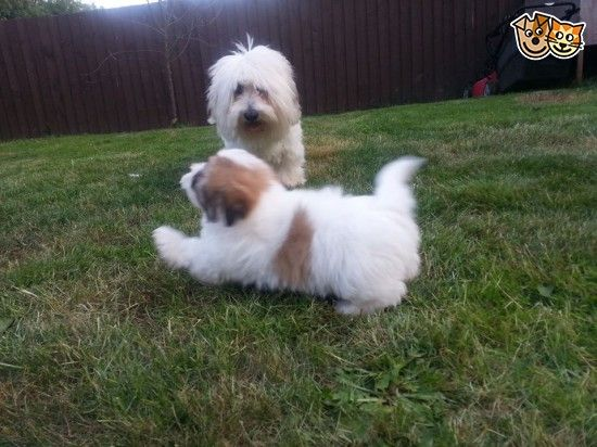 Beautiful Litter Of Coton De Tulear Pups Available Telford