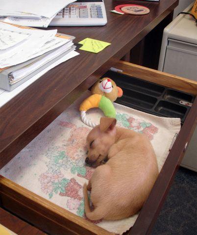 Esta sexta, nos EUA, é dia nacional de levar cães para o trabalho; ó as fotos postadas por donos | Virgula