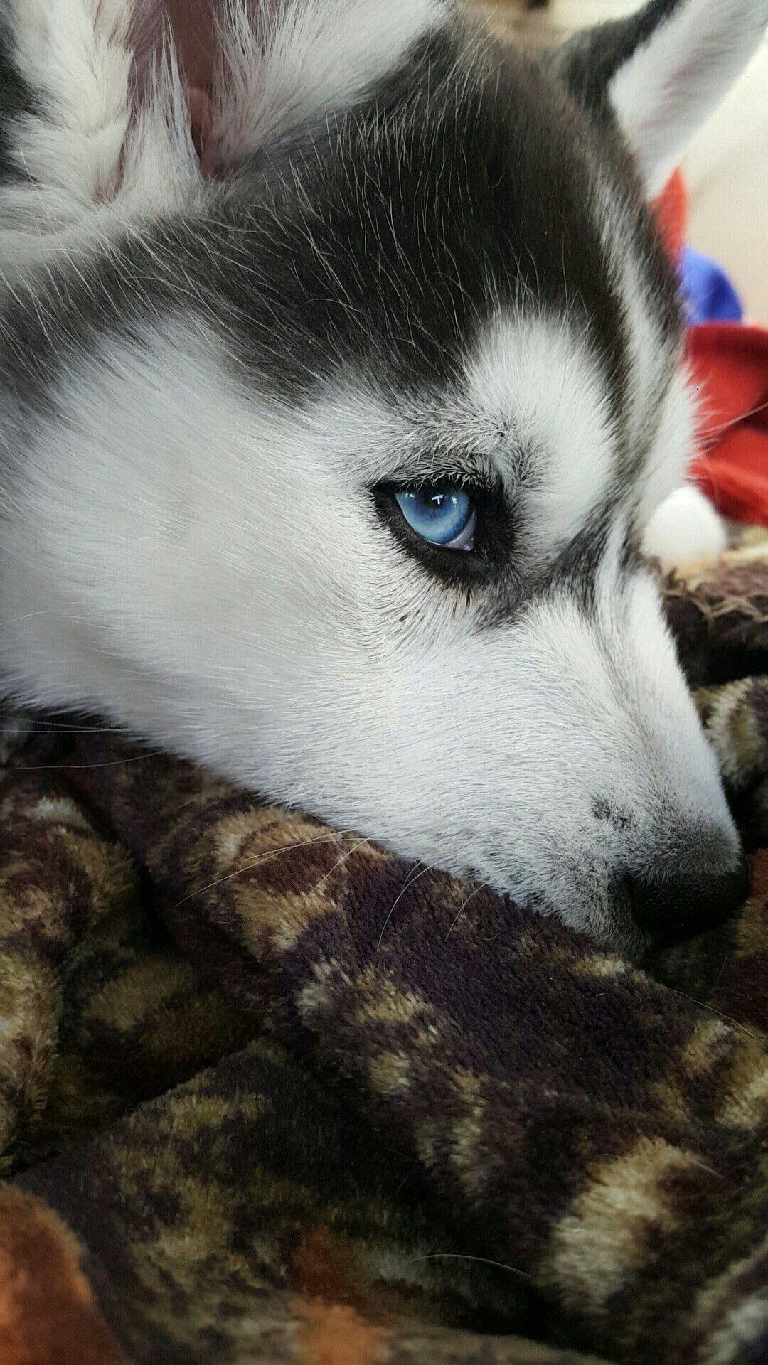 Siberian Husky Puppy With Blue Eyes Siberianhusky Bigdog