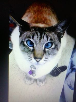 Have You Seen Poppy Poppy Is A Siamese Cat That Was Last Seen In
