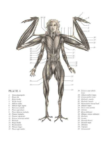 Harpy Anatomy Old Fasioned And Fantasy Anatomy Pinterest