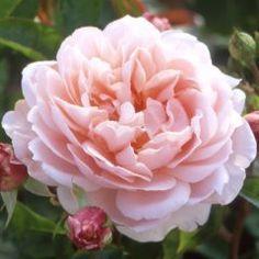Flowers Gardens, David Austin Roses, Garden Rose, Rose Garden, English Rose, Beautiful Rose, Wildeve Rose