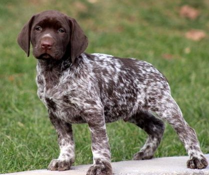 Cute Dogs Pets German Shorthaired Pointer And Labrador Mix German Shorthaired Pointer German Shorthaired Pointer Dog Pointer Puppies