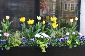 spring window box with tulips