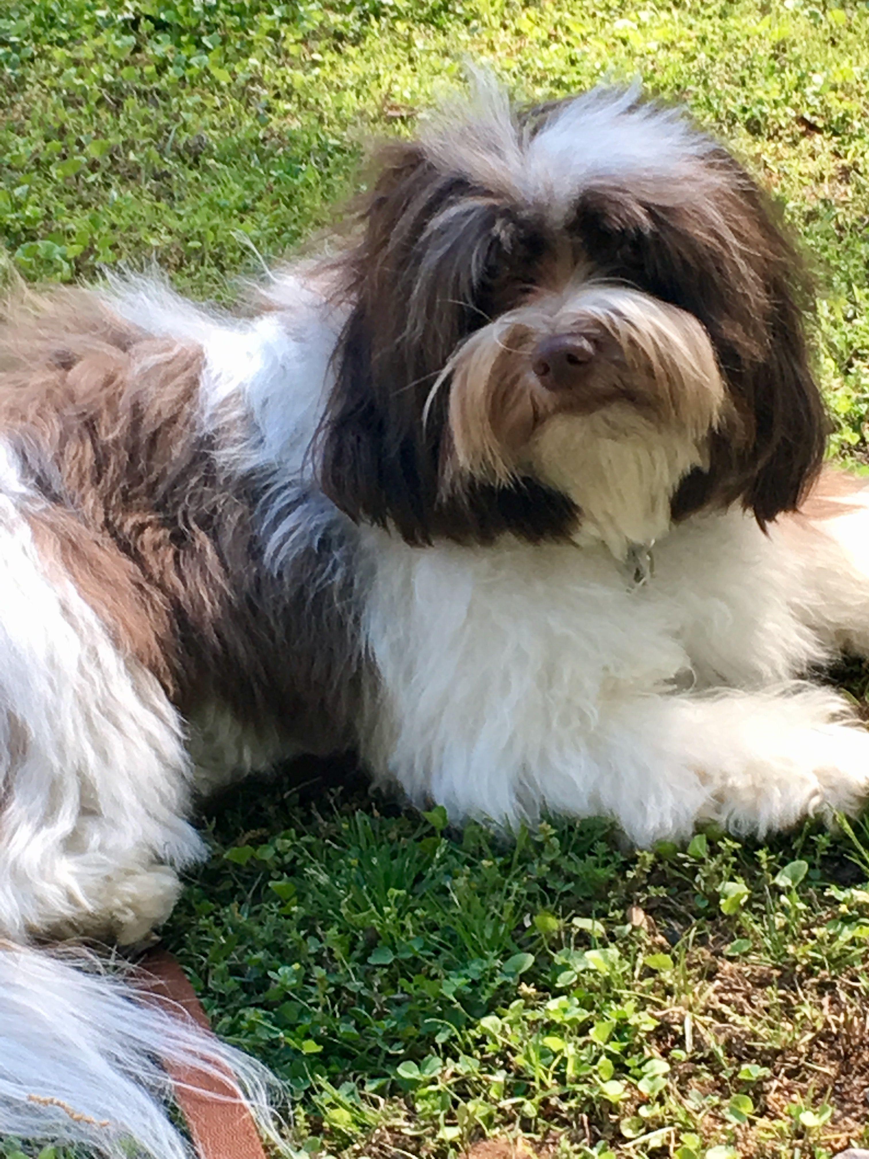 Franny. Sweetest Havanese ever! Havanese, Havanese dogs