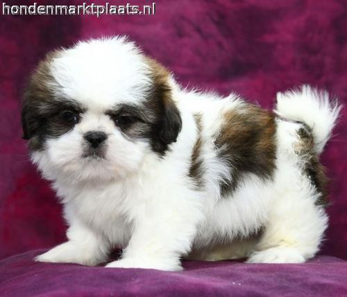Top Winnie Chubby Adorable Dog - 2ed3d4528bcb187526e858a1728187a7  You Should Have_979769  .jpg